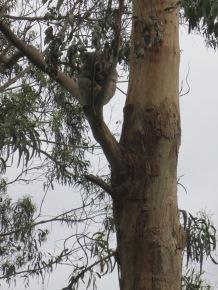 a koala in the wild